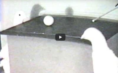 Des pigeons jouent au Ping Pong !